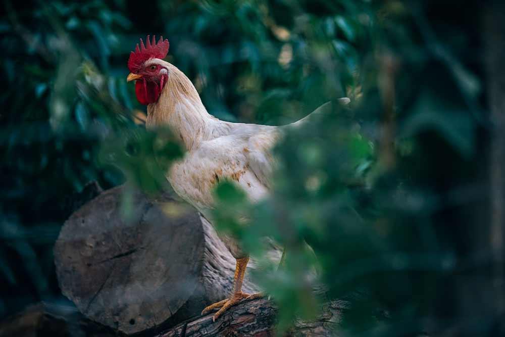 Agriturismo De Bas - il risveglio col gallo